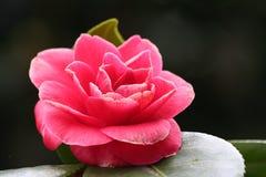 blomma pinken Fotografering för Bildbyråer