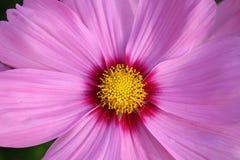 blomma pinken Royaltyfria Foton
