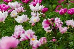 Blomma pioner med mjukt ljus R?da och vita pioner med den mjuka fokusen i v?r arkivfoto