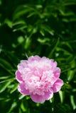 blomma pionpinken Arkivfoto