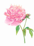 blomma pionpinken Royaltyfri Bild
