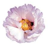 blomma pionpinken Arkivfoton