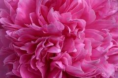 blomma pionpinken abstrakt bakgrund Arkivbild