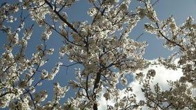 Blomma plommonträdet med vita blommor på en solig dag mot en blå himmel arkivfilmer