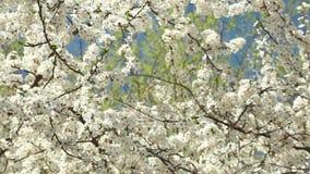 Blomma plommonträdet med vita blommor på en solig dag mot en blå himmel lager videofilmer