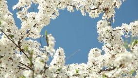 Blomma plommonträdet med vita blommor på en solig dag mot en blå himmel stock video