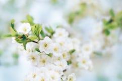 Blomma plommonträdfilialer med vita blommor i en fruktträdgård mot en blå himmel arkivbilder