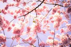 blomma plommontree Royaltyfri Bild