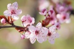 blomma plommontree Fotografering för Bildbyråer