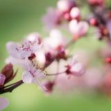 blomma plommontree Arkivbilder