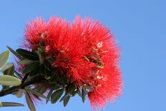 blomma pohutukawaen Royaltyfria Bilder