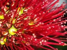 blomma pohutukawaen Arkivbild