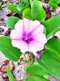 Blomma Pomoea Fotografering för Bildbyråer