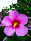 blomma purplen Arkivfoton