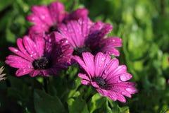 blomma purplen Arkivbilder