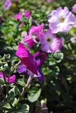 blomma purplen Fotografering för Bildbyråer