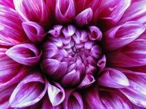 blomma purplen Royaltyfri Fotografi