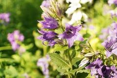 blomma purplen Royaltyfria Bilder