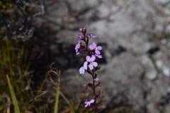 blomma purplen Royaltyfri Bild