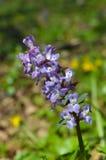 blomma purplen Royaltyfri Foto