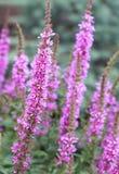 Blomma purpurfärgad loosestrife plantera (lythrumen Salicaria) eller crybab royaltyfria bilder
