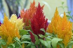 Blomma putsad tuppkam eller Celosiaargentea Fotografering för Bildbyråer