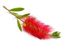 Blomma röda Melaleuca, paperbarks, honung-myrten eller te-trädet, bottlebrush bakgrund isolerad white arkivbild