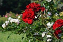 Blomma röda rosor i trädgården Arkivfoton