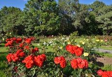 Blomma röda rosor i trädgården Arkivfoto