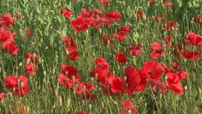 Blomma röda vallmo i fältet stock video