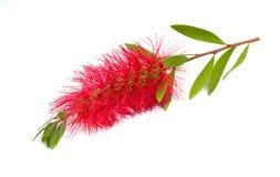 Blomma r?da Melaleuca, paperbarks, honung-myrten eller te-tr?det, bottlebrush bakgrund isolerad white royaltyfri fotografi