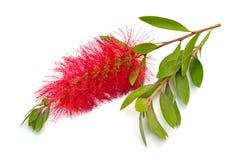 Blomma r?da Melaleuca, paperbarks, honung-myrten eller te-tr?det, bottlebrush bakgrund isolerad white royaltyfria foton