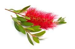 Blomma r?da Melaleuca, paperbarks, honung-myrten eller te-tr?det, bottlebrush bakgrund isolerad white arkivfoto
