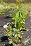 Blomma rader av jordgubbar Arkivbilder