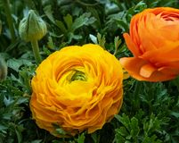 Blomma ranunculusen p? en bakgrund av gr?na sidor arkivbild