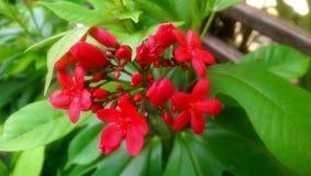 blomma red Royaltyfri Foto