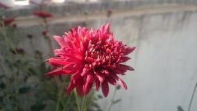 blomma red Arkivbilder