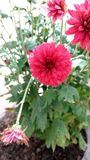 blomma red Arkivbild