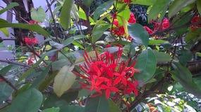 blomma red Royaltyfria Foton