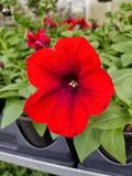 blomma red royaltyfria bilder