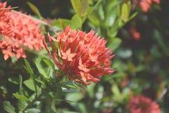 blomma red Flora för Ixora Rubiaceaestricta arkivfoton