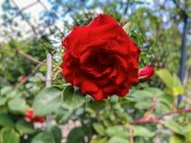 blomma red steg Steg blomningen i trädgården just rained härlig red steg just rained Arkivbild