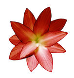 blomma red Vit isolerad bakgrund med den snabba banan closeup Inget skuggar För design Royaltyfri Foto