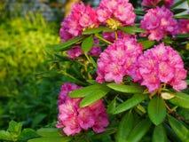 Blomma Rhododendron Bush Royaltyfri Bild