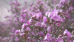 Blomma rhododendron i Sibirien i bergen stock video
