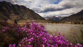 blomma rhododendron Timelapse med härliga moln Altay Ryssland lager videofilmer