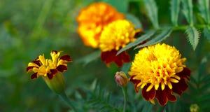 Blomma ringblommablommor i en trädgård som fångas i slut upp fotografering för bildbyråer
