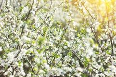 Blomma ris i vår, med royaltyfri bild
