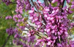 Blomma rosa akaciablommor på filialen av trädet och suddiga filialer i bakgrunden arkivbild