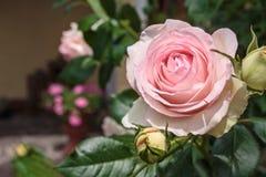 Blomma rosa `-Eden `, Royaltyfria Foton